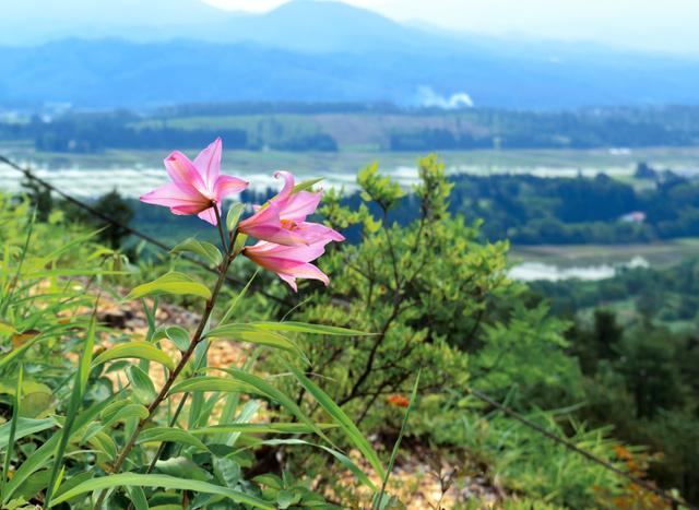 田園風景を見下ろす斜面に咲くヒメサユリ=喜多方市熱塩加納町宮川