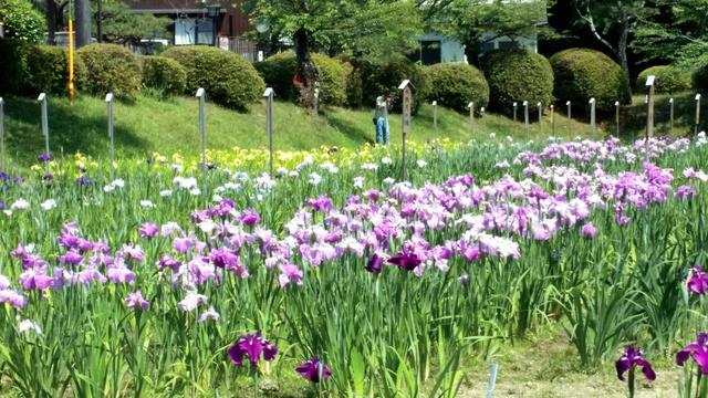 かれんな花をつけ始めたハナショウブ=岩国市