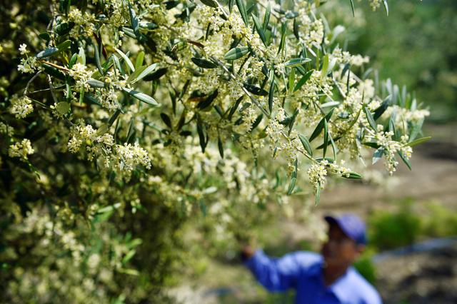 白くかれんなオリーブの花=小豆島町