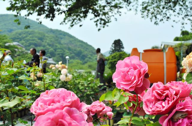 開花し始めたバラ=花巻市湯本の花巻温泉バラ園