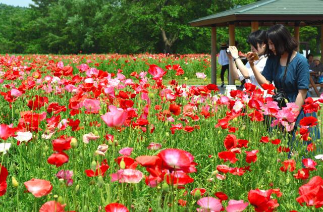 見頃を迎えているポピー畑=川崎町の国営みちのく杜の湖畔公園
