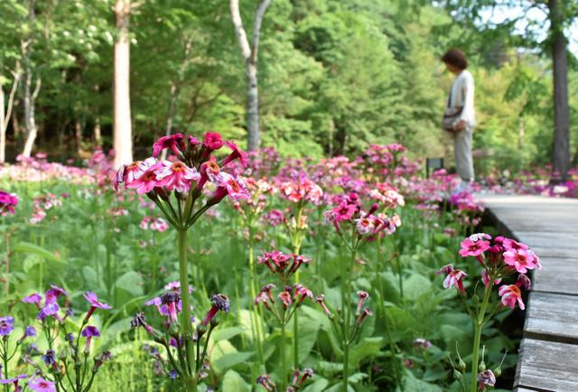 園内で咲き誇るクリンソウ=日光市の上三依水生植物園