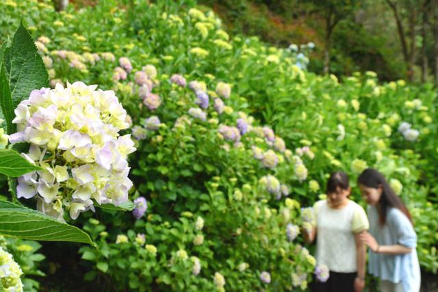 下田市が「日本一」とうたうアジサイの群生地で花が咲き始めた=1日、下田市三丁目の下田公園