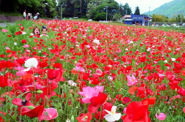 色あざやかなポピーの花がお出迎え=沼田市利根町の老神温泉