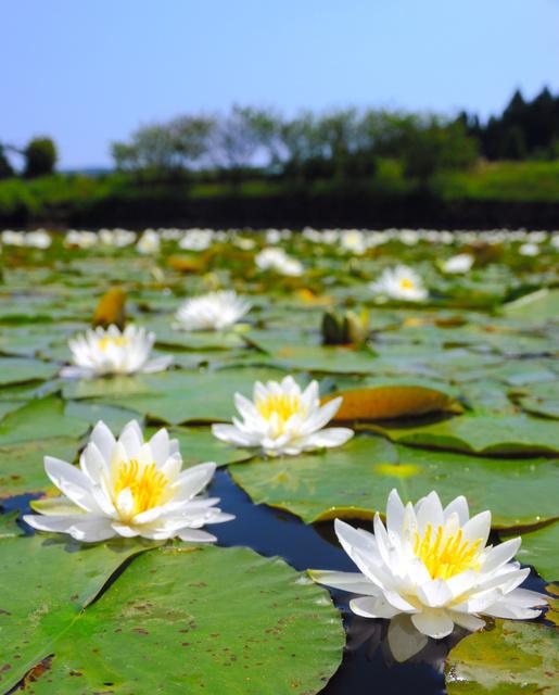 鮮やかな白い花を咲かせたスイレン=佐世保市世知原町上野原、全日写連会員・久田重一さん撮影