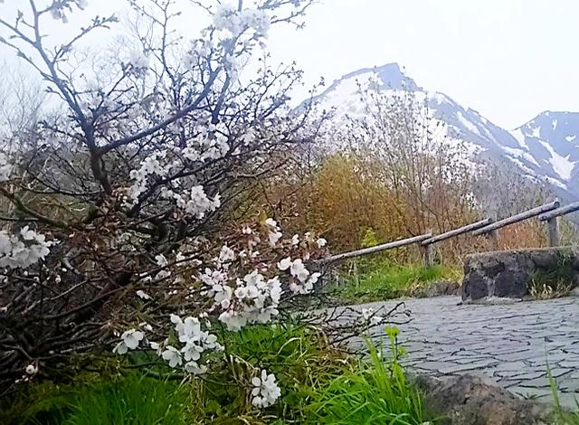 開花した黒岳のチシマザクラ=上川町、りんゆう観光提供