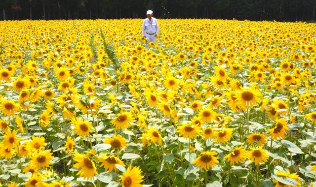 約2万本のヒマワリが満開を迎え、夏を先取りした風景が広がっている=国富町八代南俣