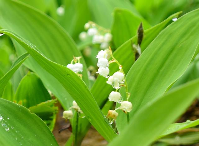 雨のしずくをつけて咲いたスズランの花=青森市浪岡