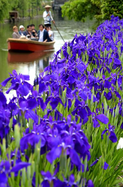 川下りの観光客を楽しませるハナショウブ=5月31日、福岡県柳川市、長沢幹城撮影
