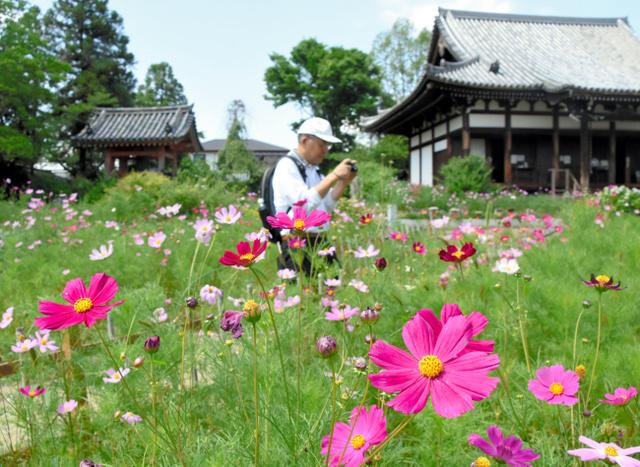色とりどりに咲く般若寺のコスモス=奈良市般若寺町