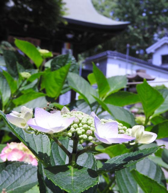八坂神社の参道わきで色づき始めたガクアジサイ=北九州市小倉北区城内