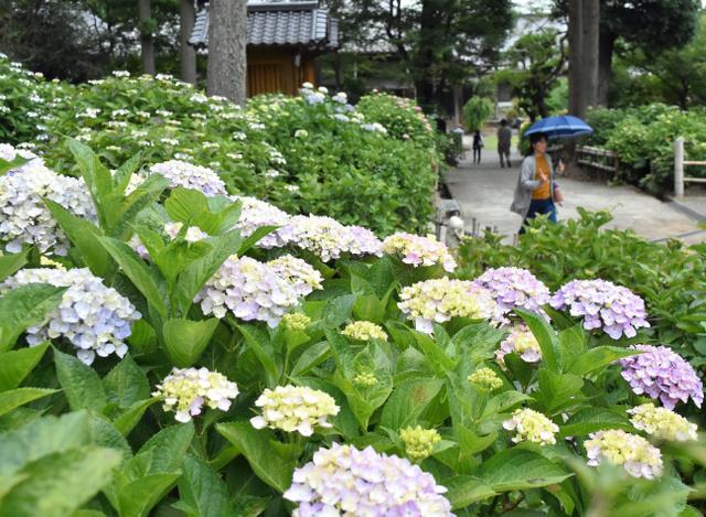 咲き始めたアジサイ=久留米市山本町豊田の千光寺