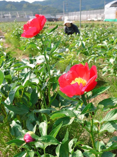 被害を免れたシャクヤクがちらほらと開花を始めた=湯沢市小野
