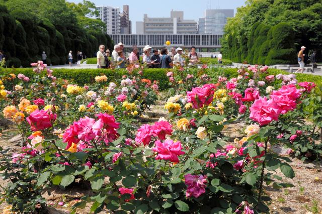 見頃を迎えた広島平和記念公園のバラ。奥は広島平和記念資料館=広島市中区、上田幸一撮影