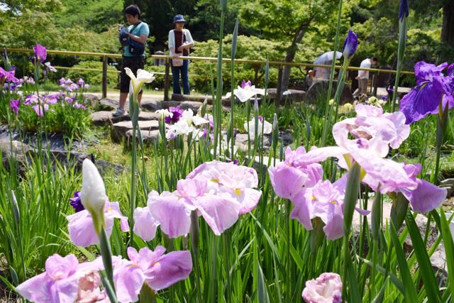 白や紫の花を咲かせたハナショウブ=下関市、全日写連谷山昇さん撮影