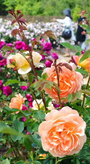 見ごろを迎えたイングリッシュローズ=世羅町戸張の世羅高原花の森