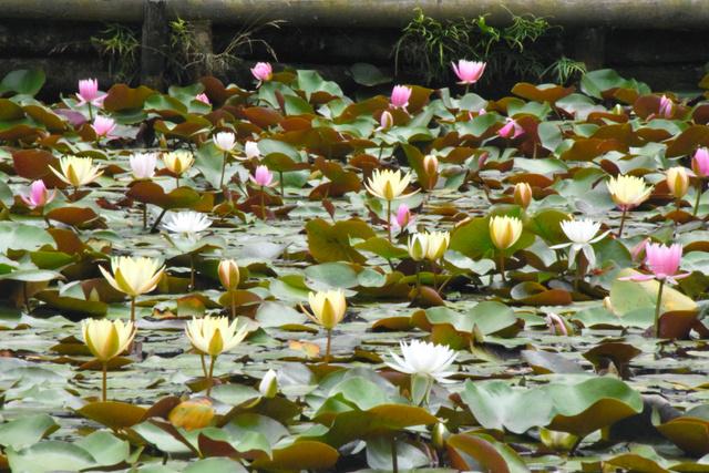 色とりどりの花を咲かせるスイレン=鹿児島市