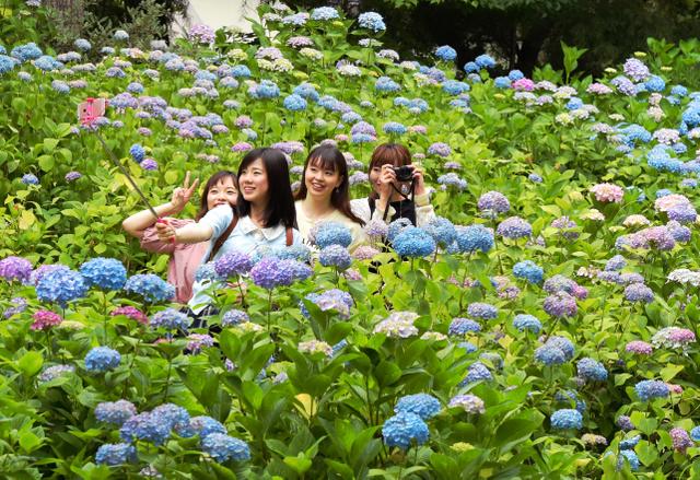 見ごろを迎えたアジサイを楽しむ人たち=6日午後、長崎県佐世保市のハウステンボス、長沢幹城撮影
