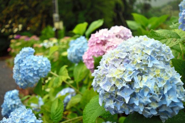 もととりアジサイ園で咲き始めたアジサイ=7日、直方市上頓野