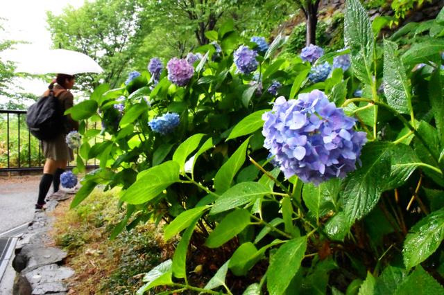 松山総合公園ではアジサイが咲き始めた=松山市