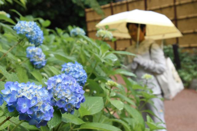 雨の中、アジサイを見物する女性=左京区の府立植物園