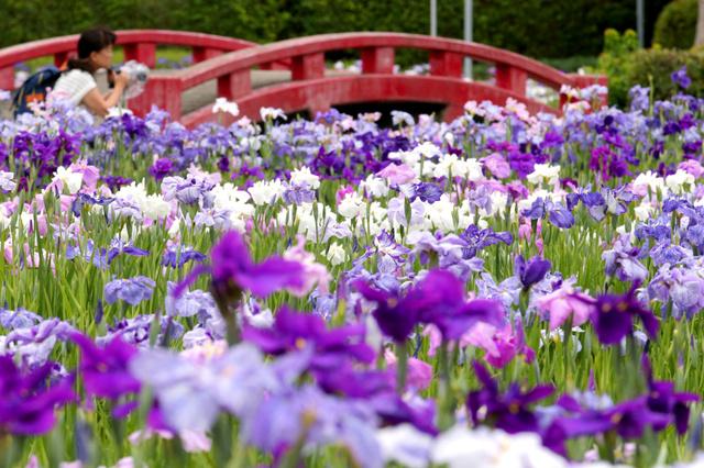 小雨の中、見頃を迎えたハナショウブの花=7日、愛知県碧南市、吉本美奈子撮影