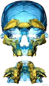 発掘された骨の復元図。目の周りと上あごの形が現代人に類似している(C)Sarah Freidline, MPI-EVA, Leipzig