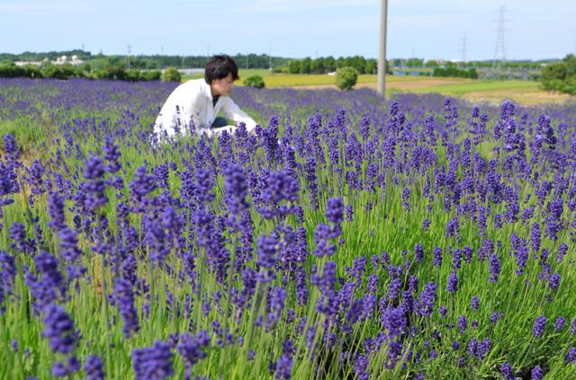 見ごろを迎えているラベンダーの花=坂井市三国町加戸