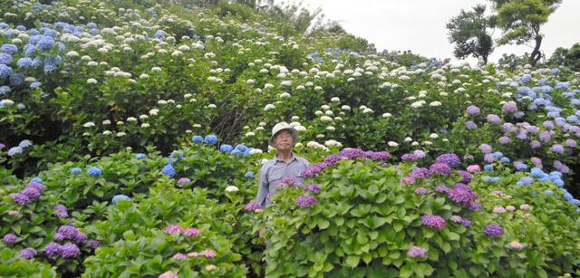見ごろを迎えたアジサイの花と川村忠光さん=鹿屋市天神町