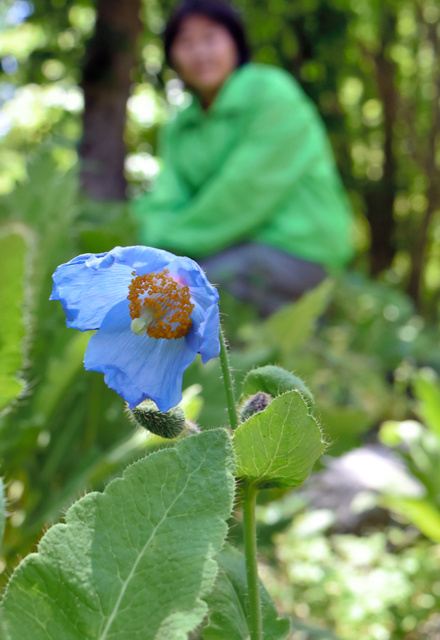 神秘的な青色の花を咲かせるブルーポピー。この花を目当てに大勢の人が訪れる=日光市の上三依水生植物園
