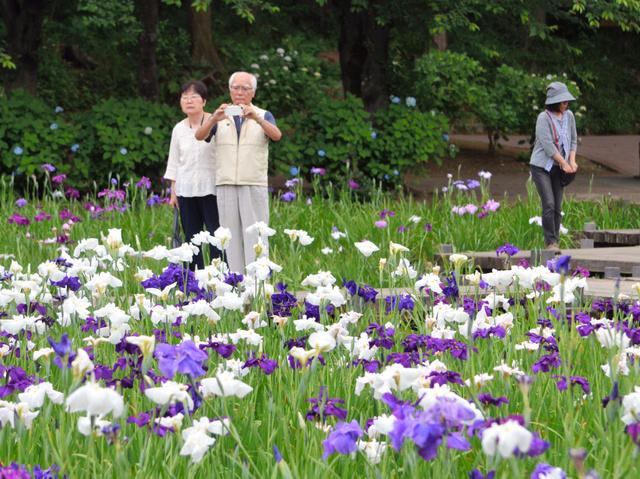 見頃を迎えたハナショウブを写真に収める人も多い=上尾市の上尾丸山公園