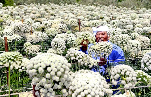 真っ白に咲き乱れる金時ニンジンの花=小豆島町