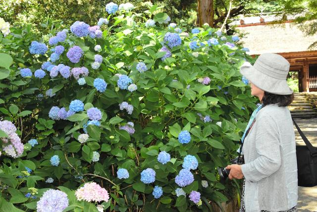 色とりどりのアジサイの花に見入る訪問者=防府市