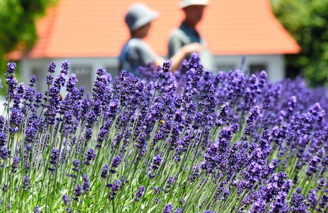 久喜市菖蒲総合支所前で咲き始めたラベンダー
