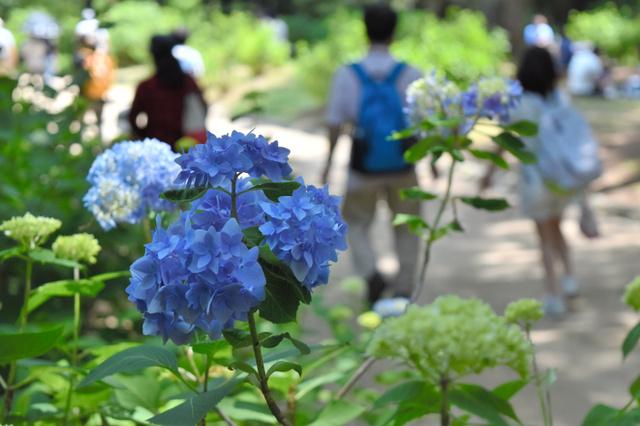 ちらほら咲き始めたアジサイ=神戸市北区の市立森林植物園