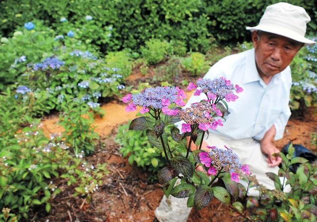 色付いたヤマアジサイの花と矢野啓介さん=三原村宮ノ川の星ケ丘公園