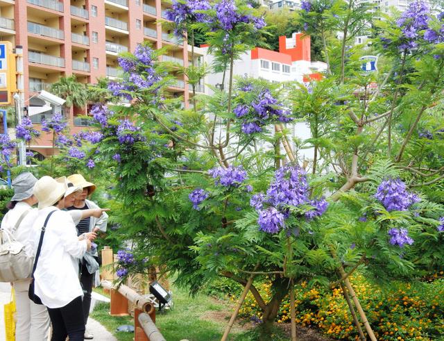 見ごろになったジャカランダの花=熱海市