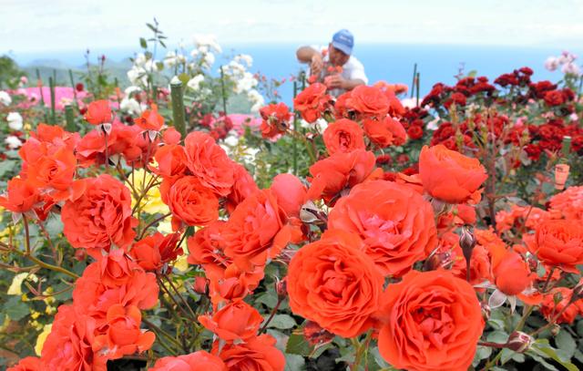 見ごろを迎えたバラの花=若狭、美浜両町境付近のレインボーライン山頂公園