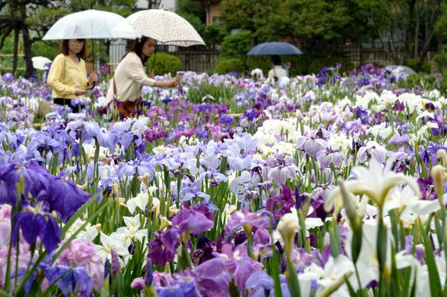 見頃を迎えたハナショウブ=13日午後、東京都葛飾区、小玉重隆撮影