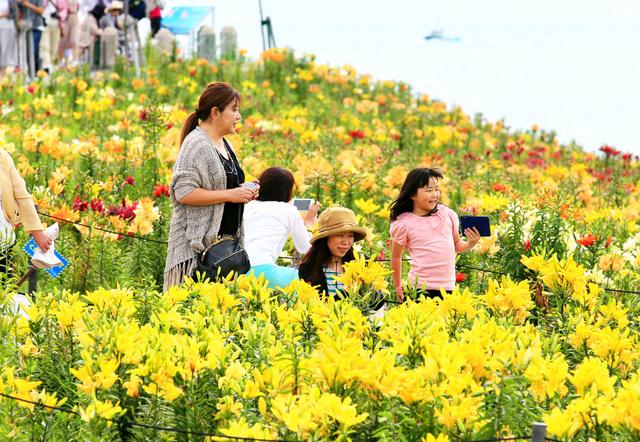 見ごろを迎えたユリの花を楽しむ人たち=大阪市此花区、内田光撮影