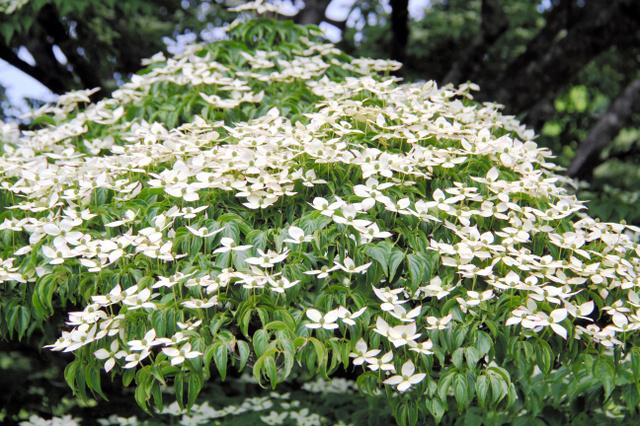 たくさんのチョウが止まっているように見えるヤマボウシの花=雲仙市