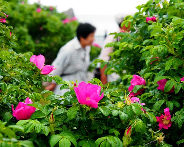 ピンク色の花を咲かせるハマナス=函館市の立待岬