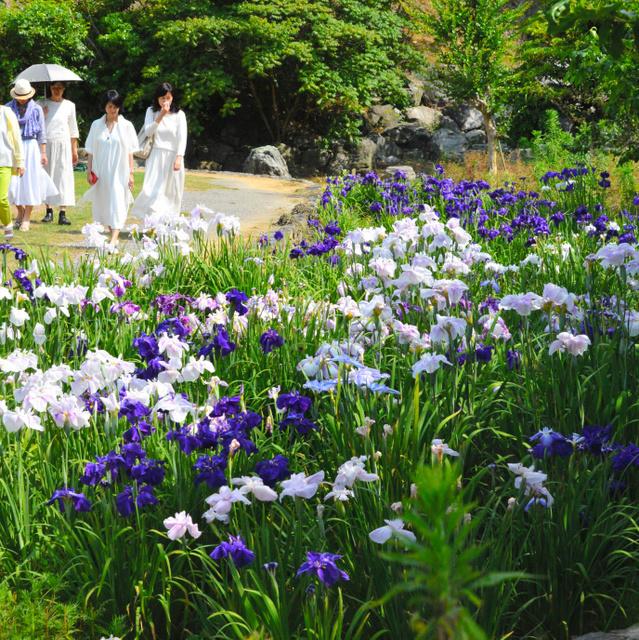 白や紫のハナショウブが咲き誇り、県外からの来園客も美しさに見とれていた=徳島市国府町西矢野