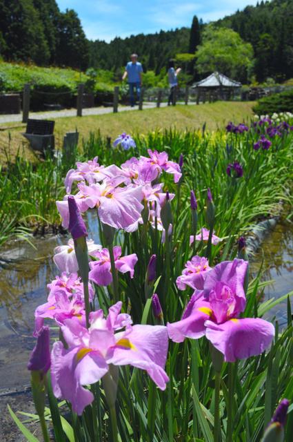 かれんに咲くハナショウブ=三田市の永沢寺花しょうぶ園