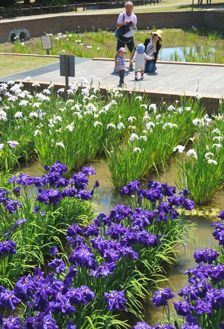 盛りを迎えた庄堺公園のハナショウブ=彦根市開出今町