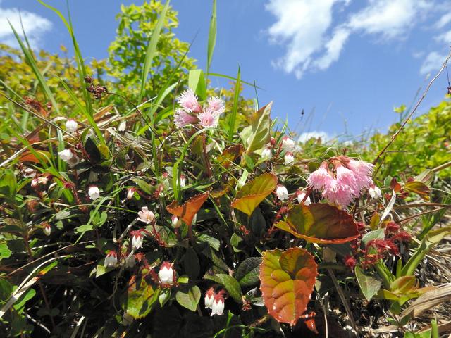 登山道一帯に咲くアカモノとイワカガミ=庄原市西城町のひろしま県民の森、菅昭和氏撮影