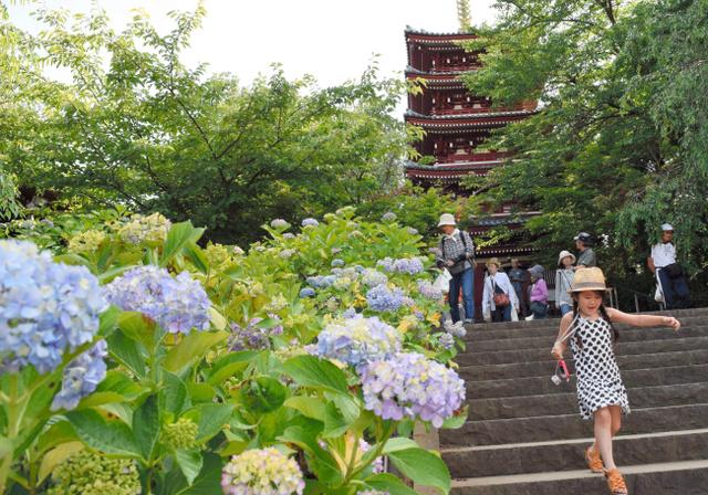 アジサイが咲き誇る広い境内に子どもたちも大喜び=松戸市