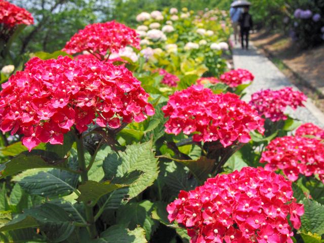 7千株が咲き競う金山アジサイ園=糸田町
