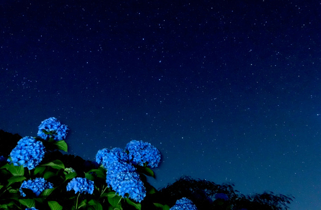 星空の下で咲くアジサイ=鹿島市、30秒間露光