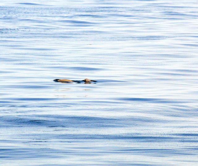 大阪湾を泳ぐスナメリ=6月3日、大阪府泉南市沖、近藤茂則さん撮影